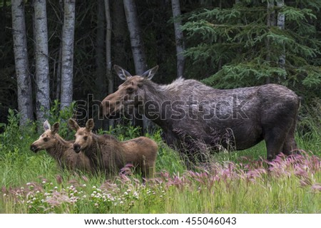 Mother cow and her twin calf's - moose in Alaska standing in a field - stock photo