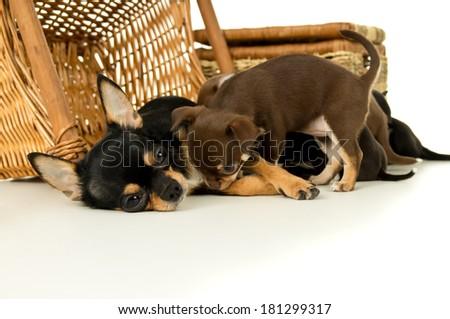 Mother dog feeding chihuahua puppies lying - stock photo