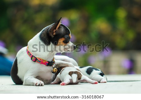 Mother dog with baby,A cute puppy, a dog, a Chihuahua, dog - focus on front - blurred background. - stock photo