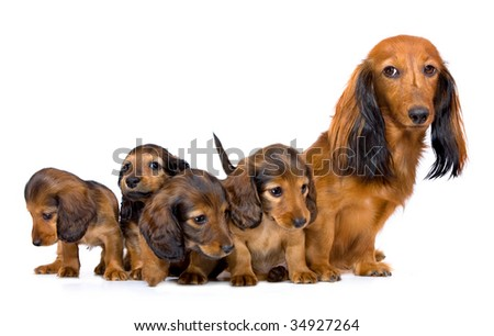 mother dogs and puppies breed dachshund - stock photo