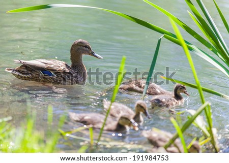 Mother Duck With Newborn Babies - stock photo