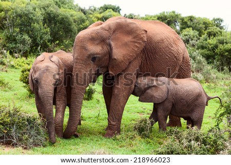 Mother elephant with two yuong calfs in Natural Reserve, South Africa - stock photo