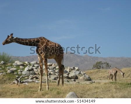 Mother Giraffe and Calf - stock photo