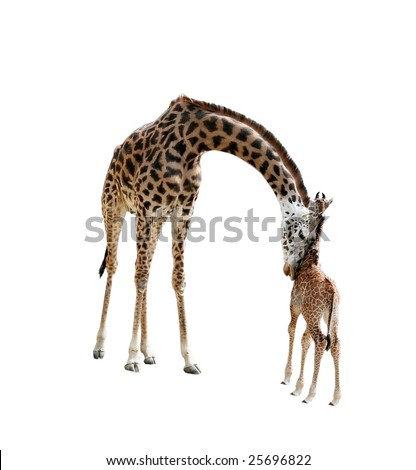 mother giraffe nuzzling baby with clipping path - stock photo