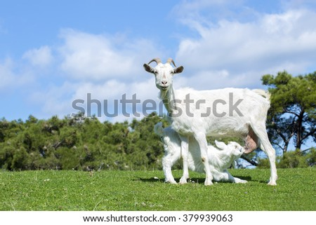Mother Goat  - stock photo