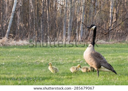 Mother Goose with Goslings - An adult Canadian Goose (branta canadensis) standing guard over her goslings as one of the baby geese mimics its mother's pose.  Copy space in upper part of frame. - stock photo