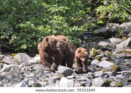 mother grizzly guards her cubs - stock photo