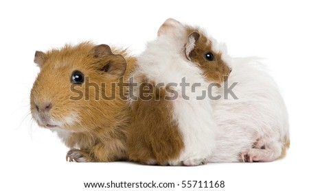 Mother Guinea Pig and her baby against white background - stock photo