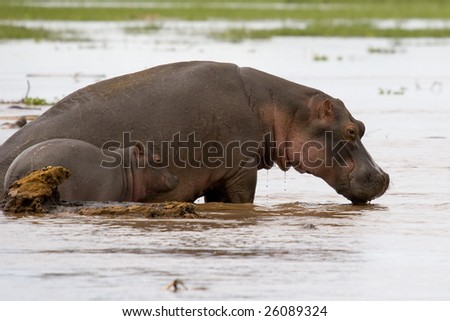 mother hippo with young baby - stock photo