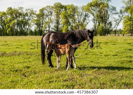 Mother horse and foal in a field cub. - stock photo