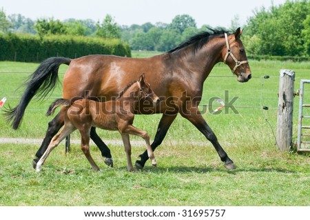 Mother horse and her little foal running on the field - stock photo