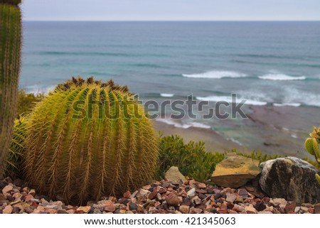 Mother-in-lawâ??s cactus, Mexican Golden Barrel Cactus, Echinocactus grusonii, flowering in spring in Mexico - stock photo