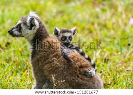 Mother lemur Catta (Maki) and his baby in the Nahampohana reserve, Madagascar - stock photo
