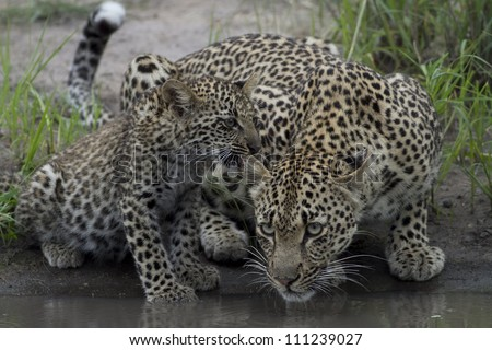 Mother Leopard and cub - stock photo