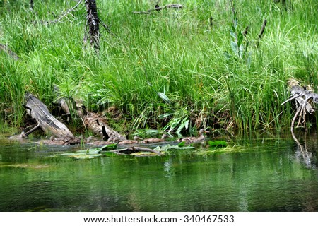 Mother mallard duck leads her covey of nearly grown baby ducks to safety in the backwaters of the Yellowstone River in Yellowstone National Park. - stock photo