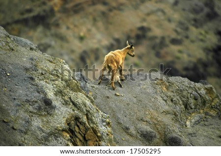 Mother mountain goat feeds her young kid on the cliff face of the Waimea Canyon State Park on Kauai, Hawaii. - stock photo