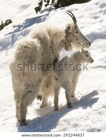 mother mountain goat with her kid - stock photo