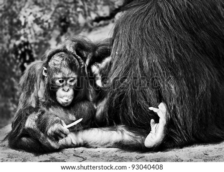 Mother Orangutan Pampers her cute lilttle baby - stock photo