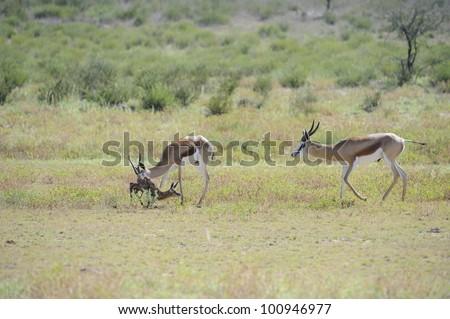 Mother,ram and newborn lamb. Springbuck birth sequence in the kalahari, Urikaruus,Kgalagadi transfrontier park, South Africa, - stock photo