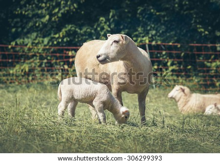 Mother sheep and her baby grazing in field. Mother care and motherhood concept.  - stock photo