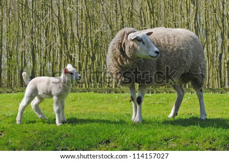 Mother sheep and her lamb in a meadow in The Netherlands. - stock photo