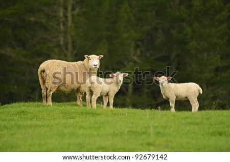 mother sheep and her lambs - stock photo