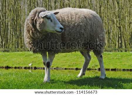 Mother sheep in a meadow in The Netherlands. - stock photo