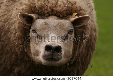 Mother sheep looking at you - stock photo