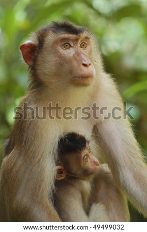 Mother Southern Pig-tailed Macaque with baby in the Borneo rain forest - stock photo