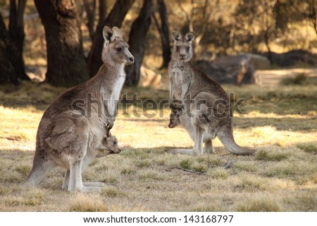 Mother Wallabies with joeys - stock photo