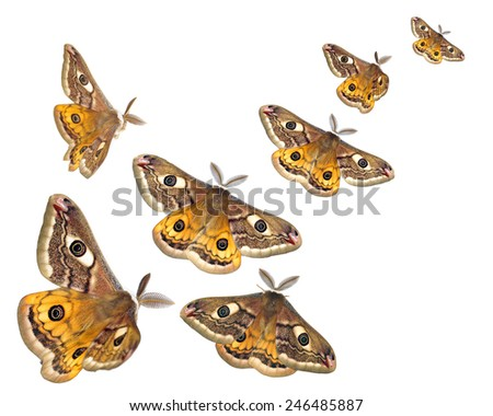 Moths (Saturnia pavoniella) flying isolated on white - stock photo