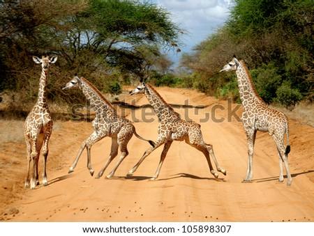 motion study of a baby giraffe (Giraffa camelopardalis) on the Tsavo East National Reserve safari in Kenya - stock photo