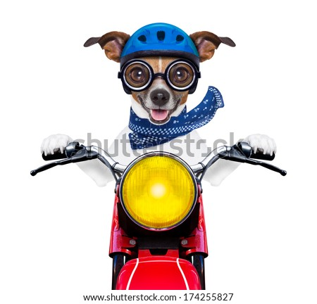 motorbike dog at speed with helmet and crazy glasses - stock photo