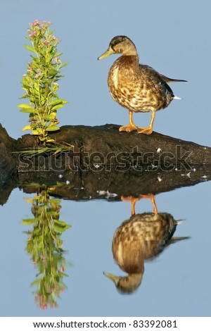 Mottled Duck (Anus fulvigula) with blue water background and reflection. - stock photo