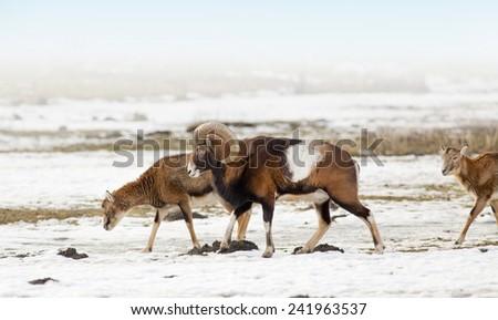 Moufflon herd walking on the meadow on snow - stock photo