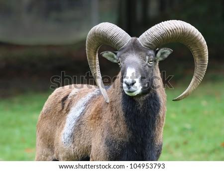 moufflon on natural background - stock photo