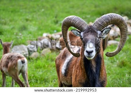Mouflon in natural environment - stock photo