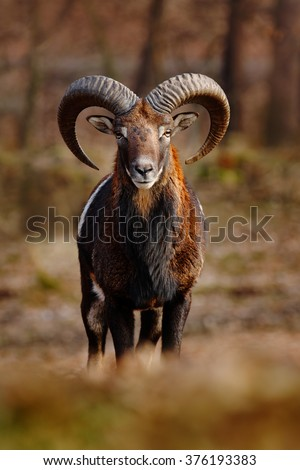 Mouflon, Ovis orientalis, forest horned animal in the nature habitat, portrait of mammal with big horn, face to face view, Praha, Czech Republic - stock photo