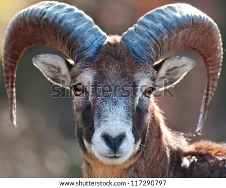 Mouflon portrait - stock photo