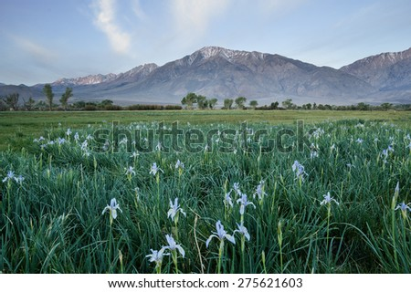 Mount Tom stands behind a field with wild iris flowers in Round Valley California - stock photo