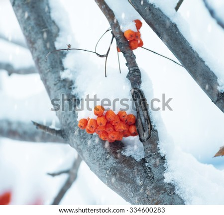 Mountain ash cluster on a tree under snow - stock photo