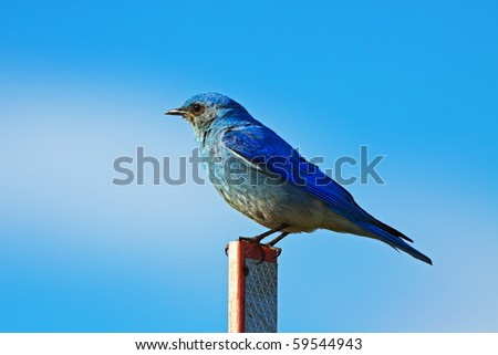 Mountain Bluebird - stock photo