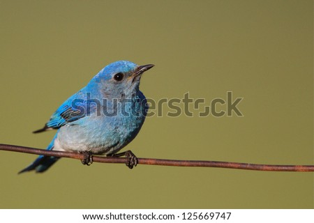Mountain Bluebird blue bird perched on barb wire fence barbed, Yellowstone / Teton National Parks, Montana / Wyoming / Jackson Hole - stock photo