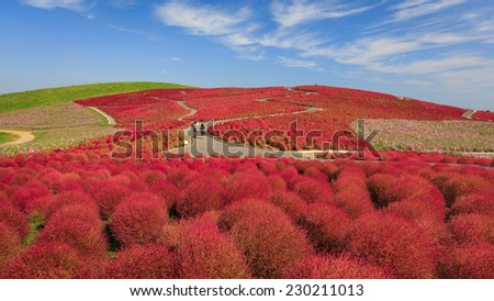 Mountain, Cosmos and Kochia at Hitachi Seaside Park in autumn with blue sky and lover at Ibaraki, Japan - stock photo