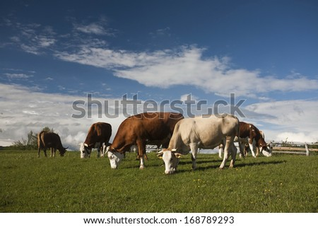 mountain cows grazing on field - stock photo
