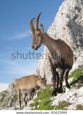 mountain goat - Alpine Ibex - in Julian Alps - stock photo