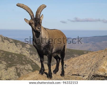 Mountain goat, Capra pyrenaica victoriae - stock photo