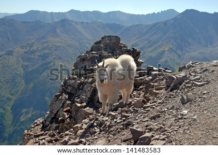 Mountain Goat, Elk Range Colorado Rockies, USA - stock photo