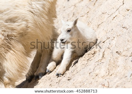 Mountain goat family with baby kid goat on a cliff side Jasper National Park Alberta Canada - stock photo