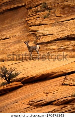 Mountain Goat in Zion National Park, Utah, USA - stock photo